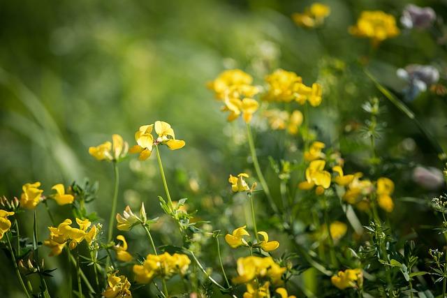 kvetoucí pískavice